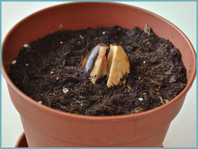 Можно ли выращивать манго из косточки в домашних условиях и как это делать?