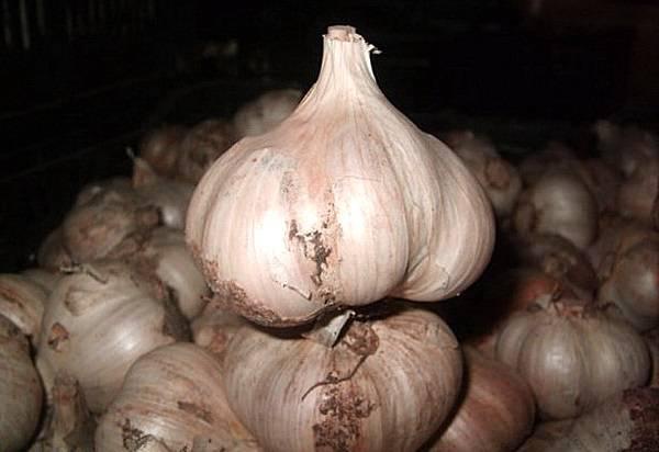 Сорта раннего чеснока: топ-5 самых ранних сортов чеснока | огородники