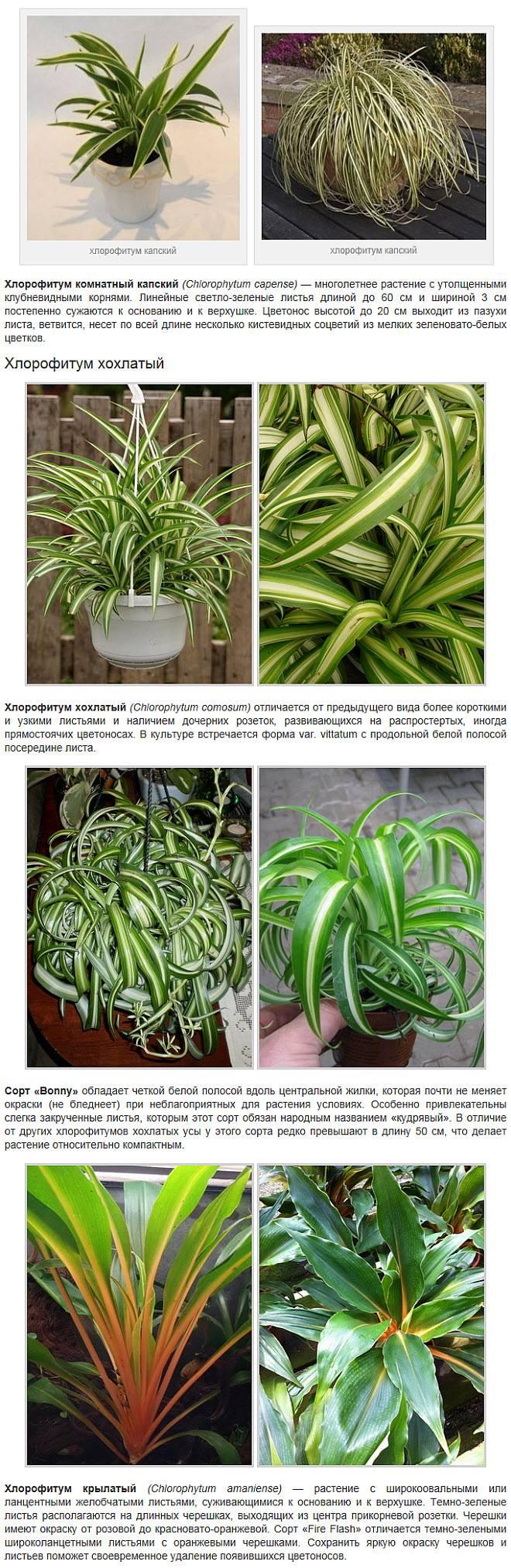 Особенности выращивания хлорофитума в домашних условиях