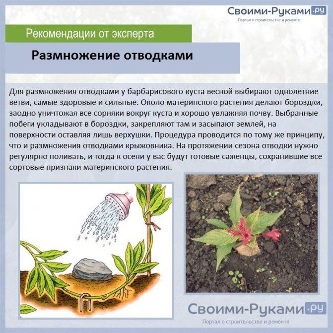 Размножение барбариса, в том числе осенью, а также описание основных способов