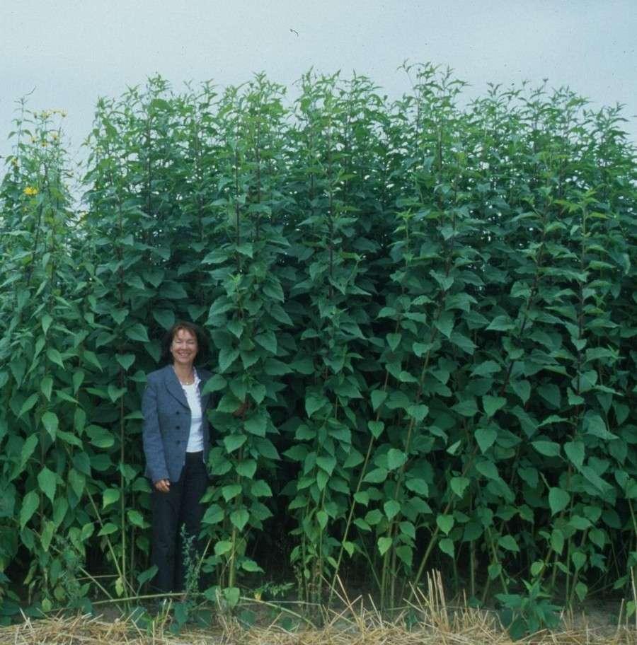 Топинамбур выращивание и уход: чего не переносит земляная груша