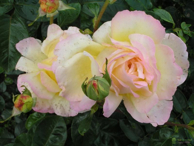 О чайно гибридной розе глория дей (gloria dei): описание и характеристики