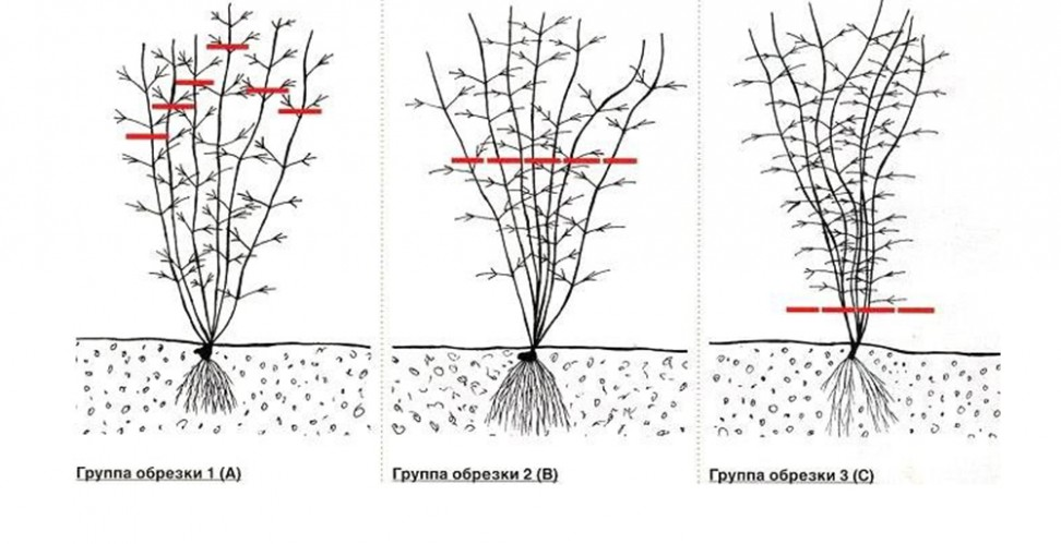 Клематисы «тайга» (39 фото): описание крупноцветкового сорта. к какой группе обрезки относится?