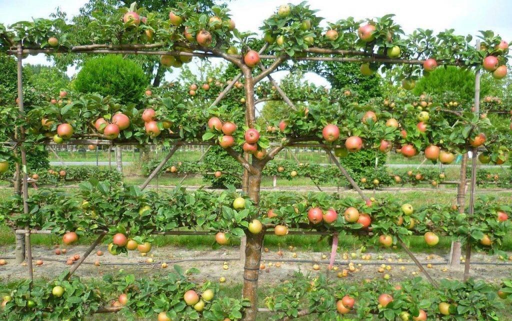 Рассказываем про осенние сорта яблонь для подмосковья
