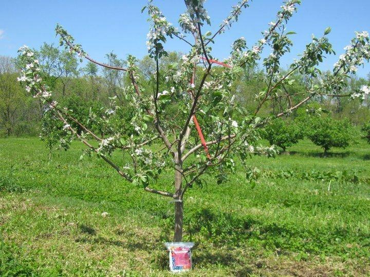Как заставить яблоню плодоносить и цвести