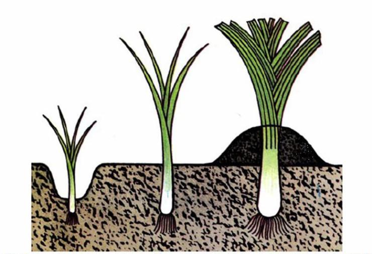 Декоративный лук — посадка и уход в открытом грунте