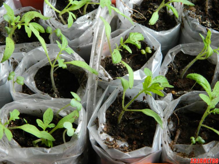 Как пикировать помидоры, если рассада вытянулась – переросла, способы пересадки, видео