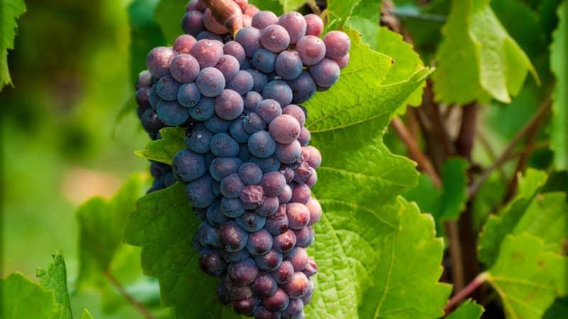 Пинотаж: сорт винограда, его описание и характеристики, технология посадки и выращивания, изготовление вина
