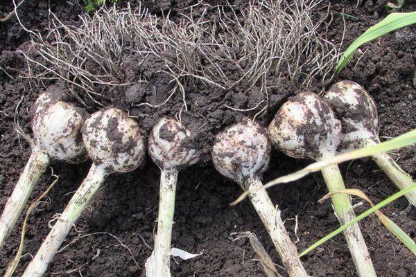 Описание сорта семейного чеснока, выращивание, посадка и уход