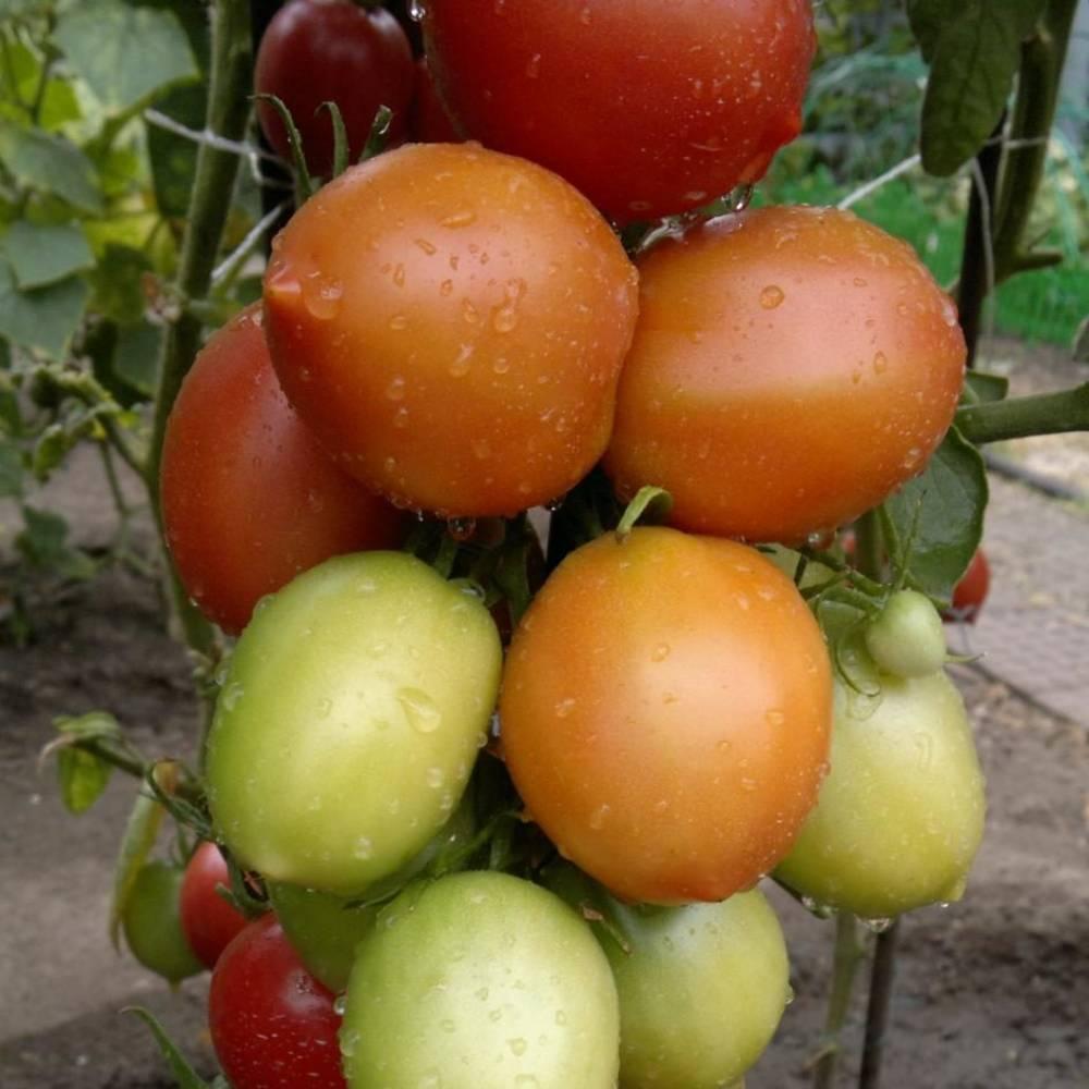 Описание томата Сызранская пипочка и советы по выращиванию рассады своими руками