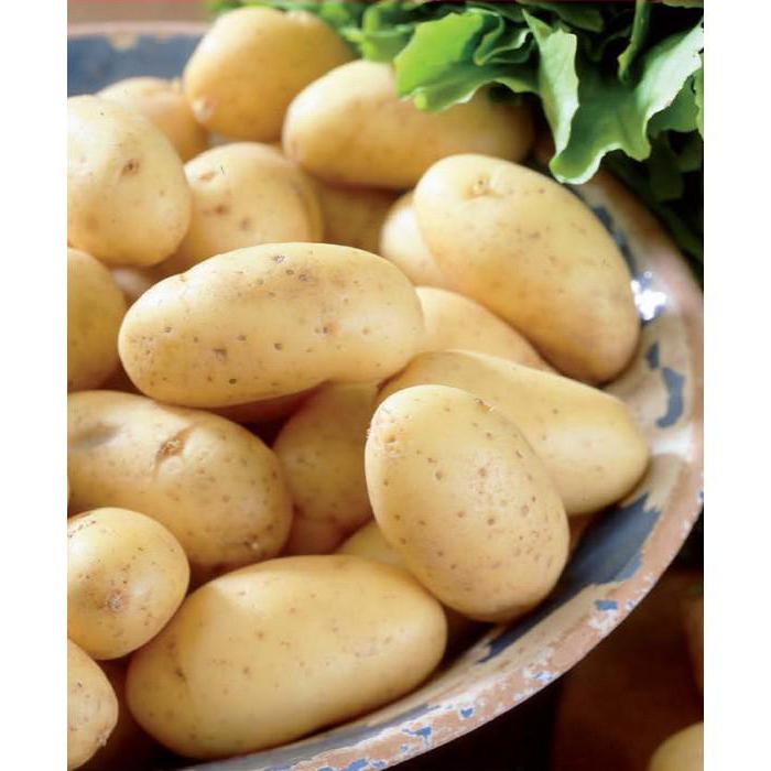 Описание сорта картофеля коломбо, особенности выращивания и ухода - всё про сады