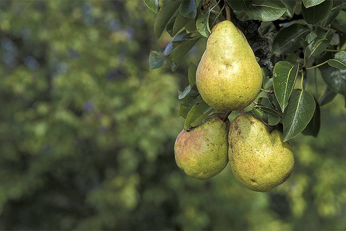 Сорта груш для подмосковья: морозоустойчивые, самые сладкие, самоплодные и низкорослые разновидности дерева