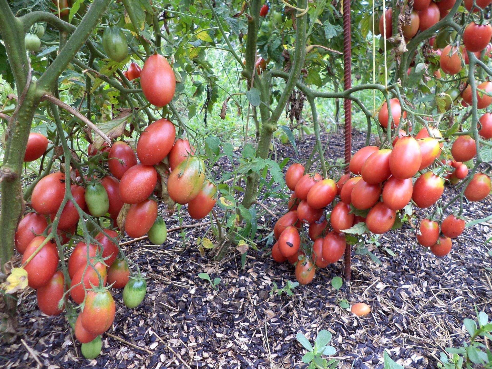 Выращивание томатов в открытом грунте: секреты сибирских садоводов