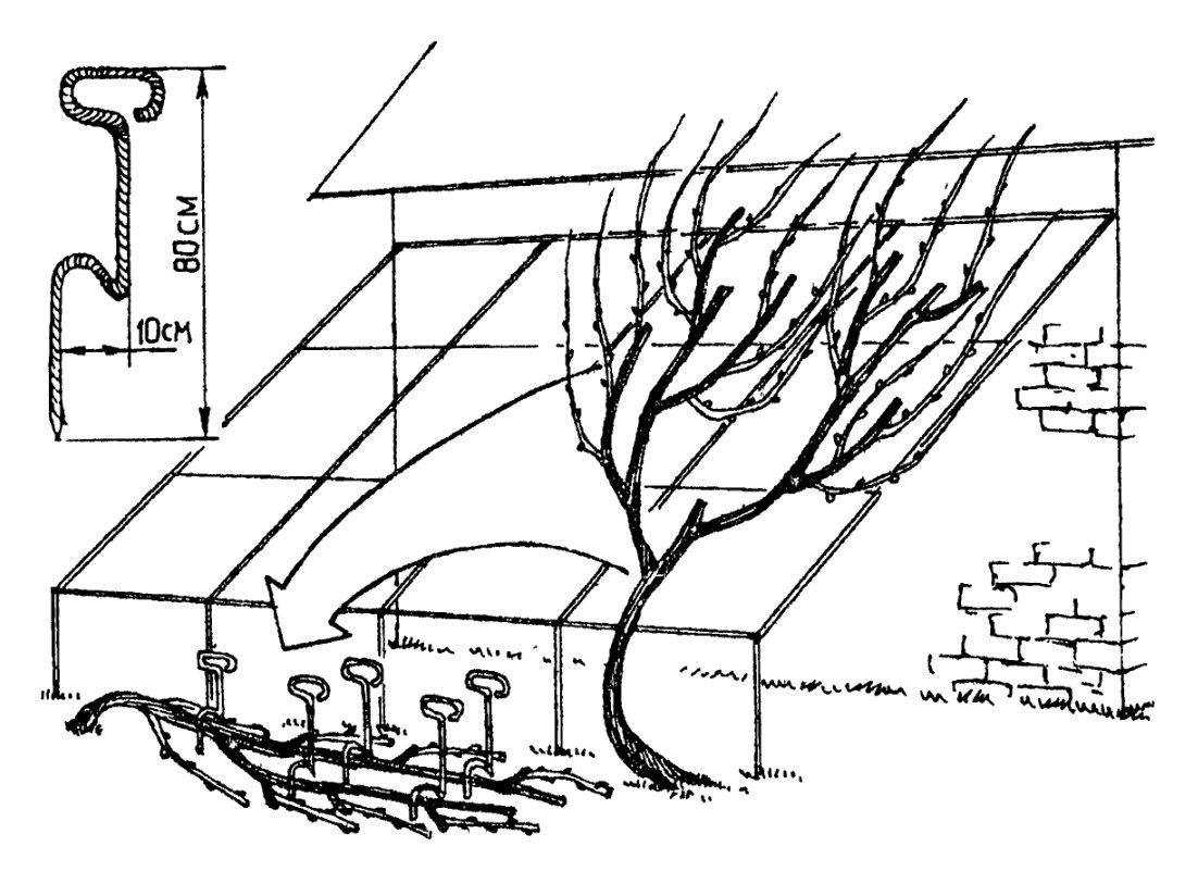 Как выращивать виноград в средней полосе россии из черенков