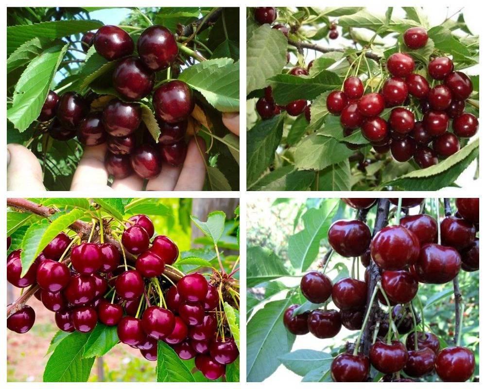 Выбираем сорт черешни для выращивания