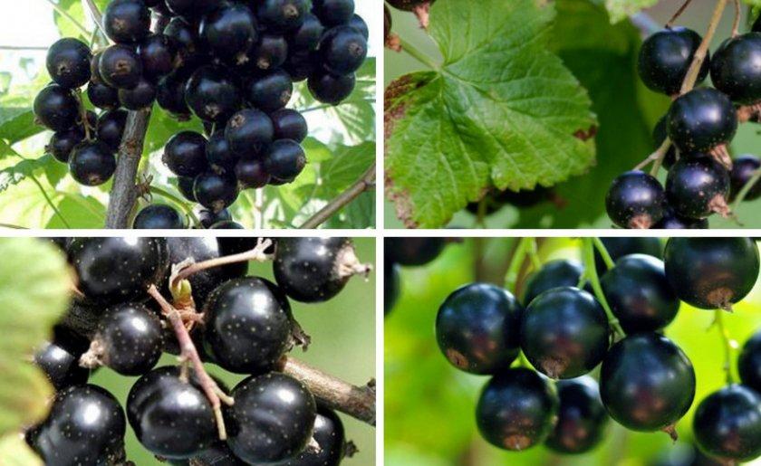 Черная смородина титания: описание сорта, посадка и уход
