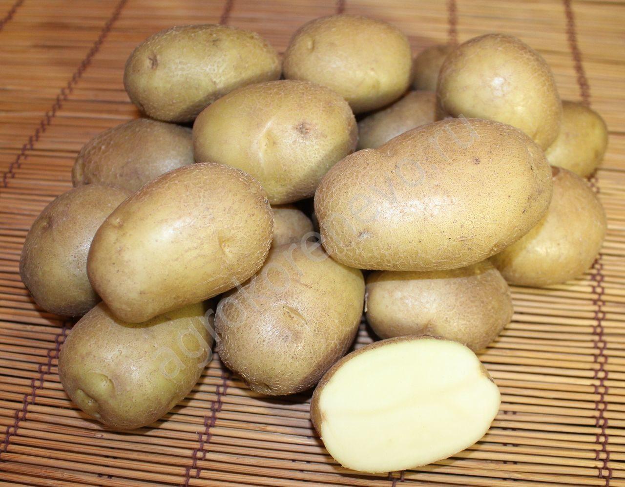 Картофель голубизна: описание и характеристика сорта, отзывы и фото