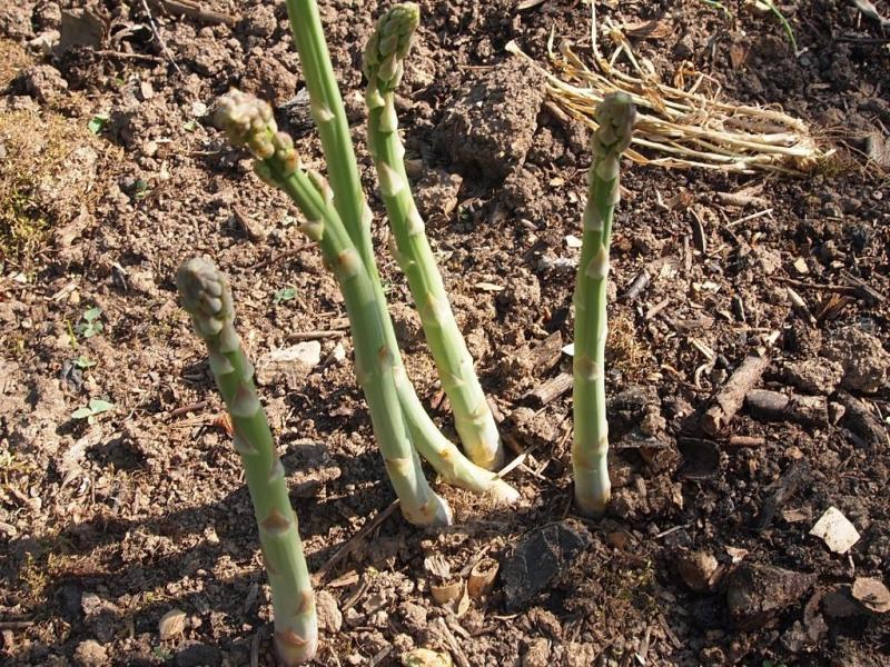 Как растет спаржа: основные правила выращивания и ухода - огород | описание, советы, отзывы, фото и видео