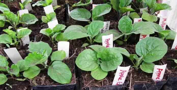 Уход за баклажанами в открытом грунте: не загубите капризное растение