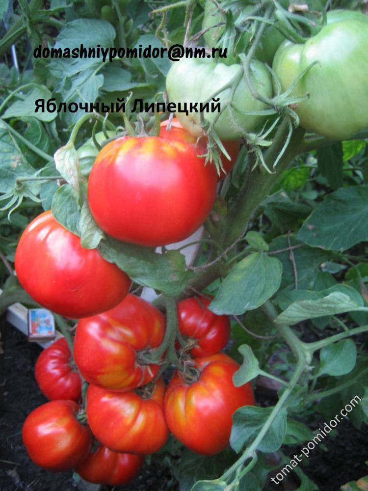 Описание томатов яблочных сортов