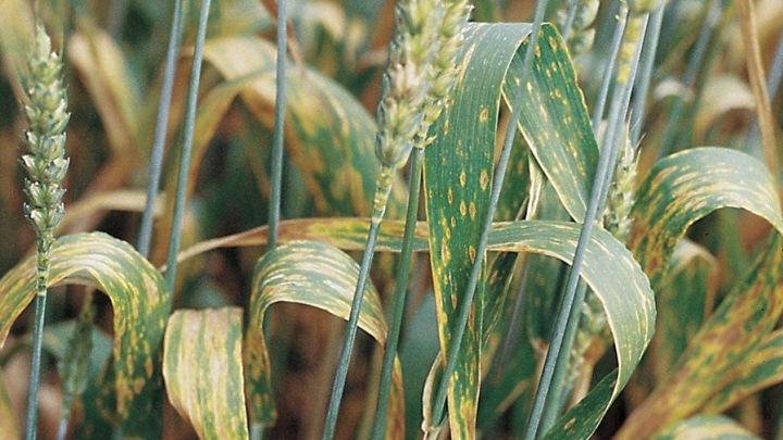 Болезни кукурузы, меры борьбы — пропозиция
