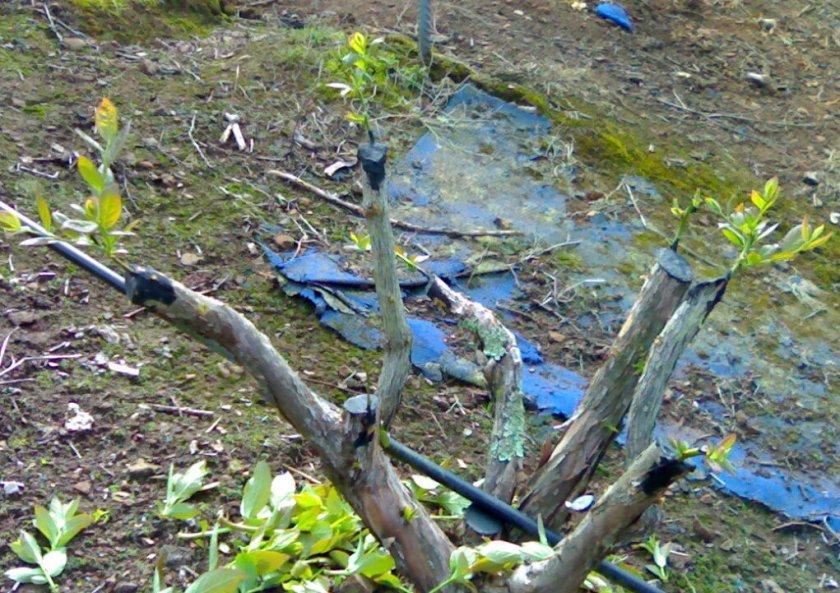 3 способа размножения голубики