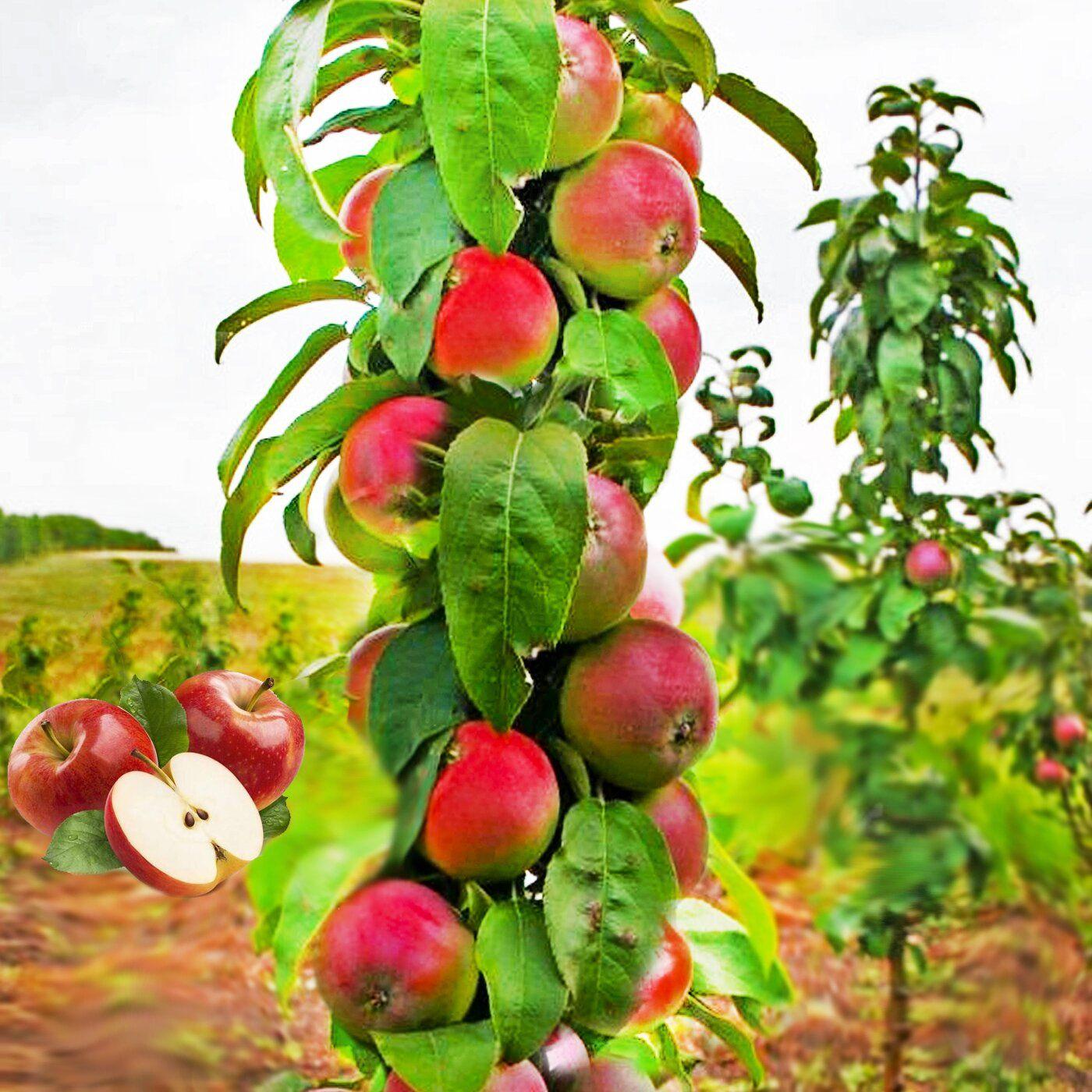 Описание сорта яблони джонатан: фото яблок, важные характеристики, урожайность с дерева