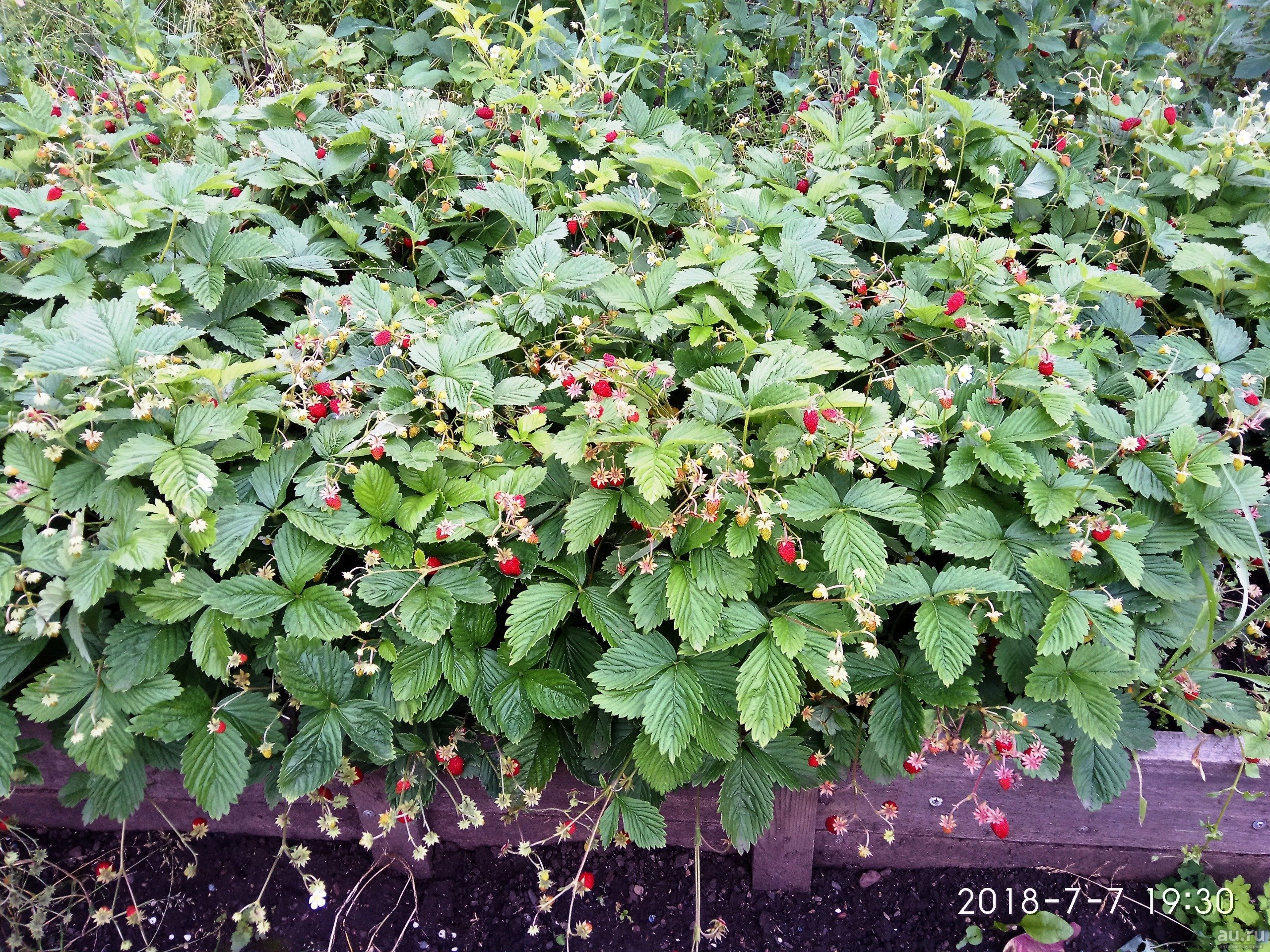 Земляника барон солемахер выращивание из семян - садоводству да