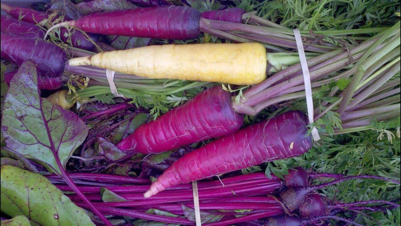 Сорта моркови для открытого грунта: бывает ли фиолетовая, белая, красная, какого цвета изначально был кормовой овощ, каковы лучшие семена для посевной подмосковья?