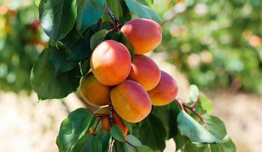 Абрикос в сибири: выращивание и уход. сорта абрикосов для сибири