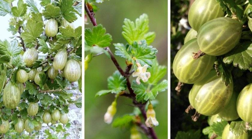 Крыжовник малахит: описание сорта и особенности выращивания