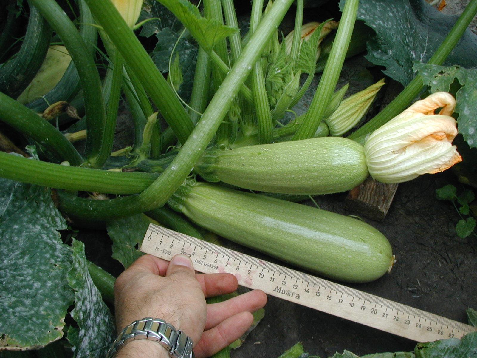 Описание и выращивание кабачков сорта нежный зефир