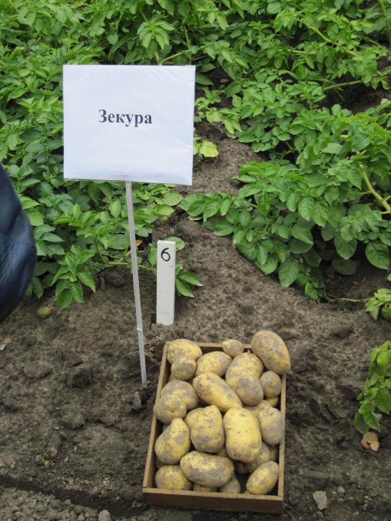 Сорт картофеля каратоп – описание сорта + видео
