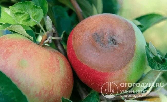 Черный рак на яблоне: фото, описание симптомов и лечение болезни