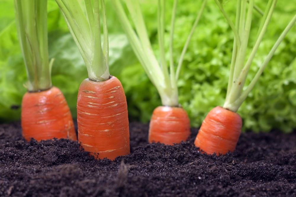 Уход за морковью после посадки в открытом грунте: в чем заключается, каковы его принципы, как правильно заботиться о посевах и каких ошибок надо остерегаться? русский фермер