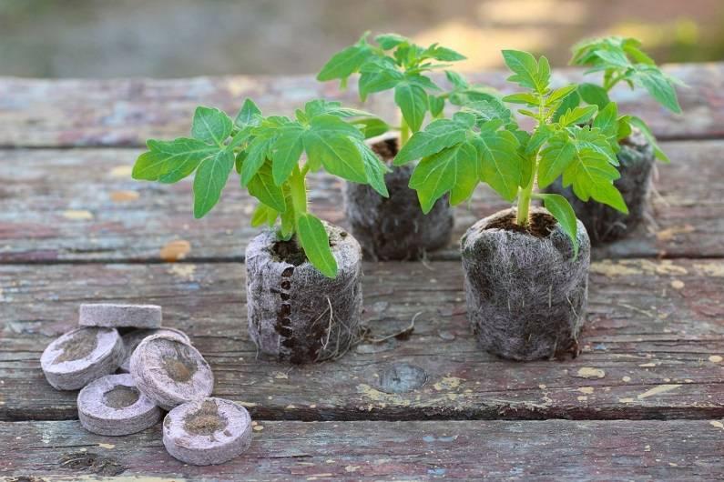 Посадка помидоров в торфяные таблетки в виде семян для рассады: как выращивать томаты таким способом, как подготовить шайбу для посева и правильно ей пользоваться? русский фермер