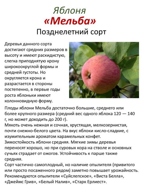 Сорт яблони чемпион: описание, фото