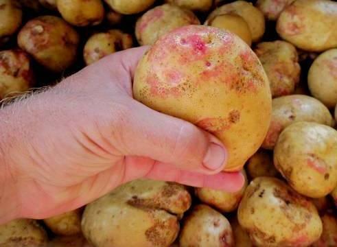 Картофель сорокодневка: описание сортов, выращивание, когда копать
