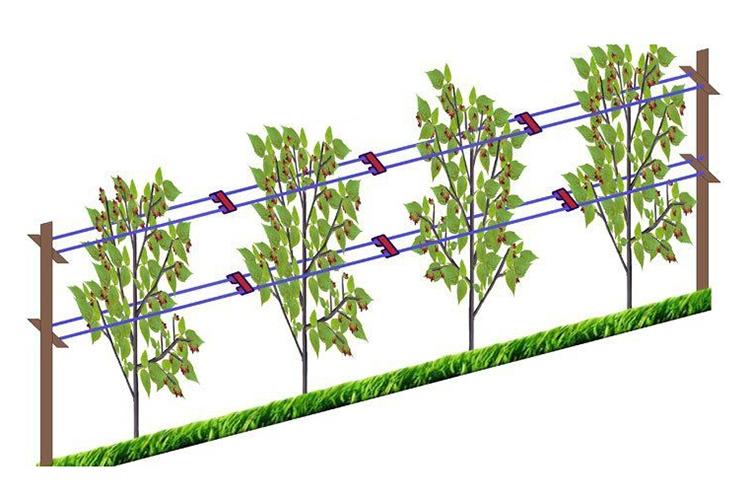 Правила посадки саженцев ежевики осенью и последующий уход