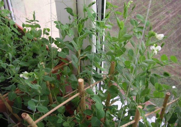 Душистый горошек на балконе: посадка и уход