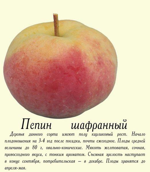 Яблоня шафран — разъясняем во всех подробностях