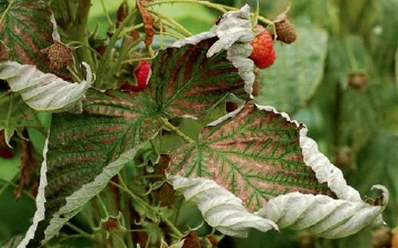 Малина сохнет: причины, почему засыхают ягоды и скручиваются листья, как бороться, если куст увядает, что делать и как лечить растение, чем обработать малину?