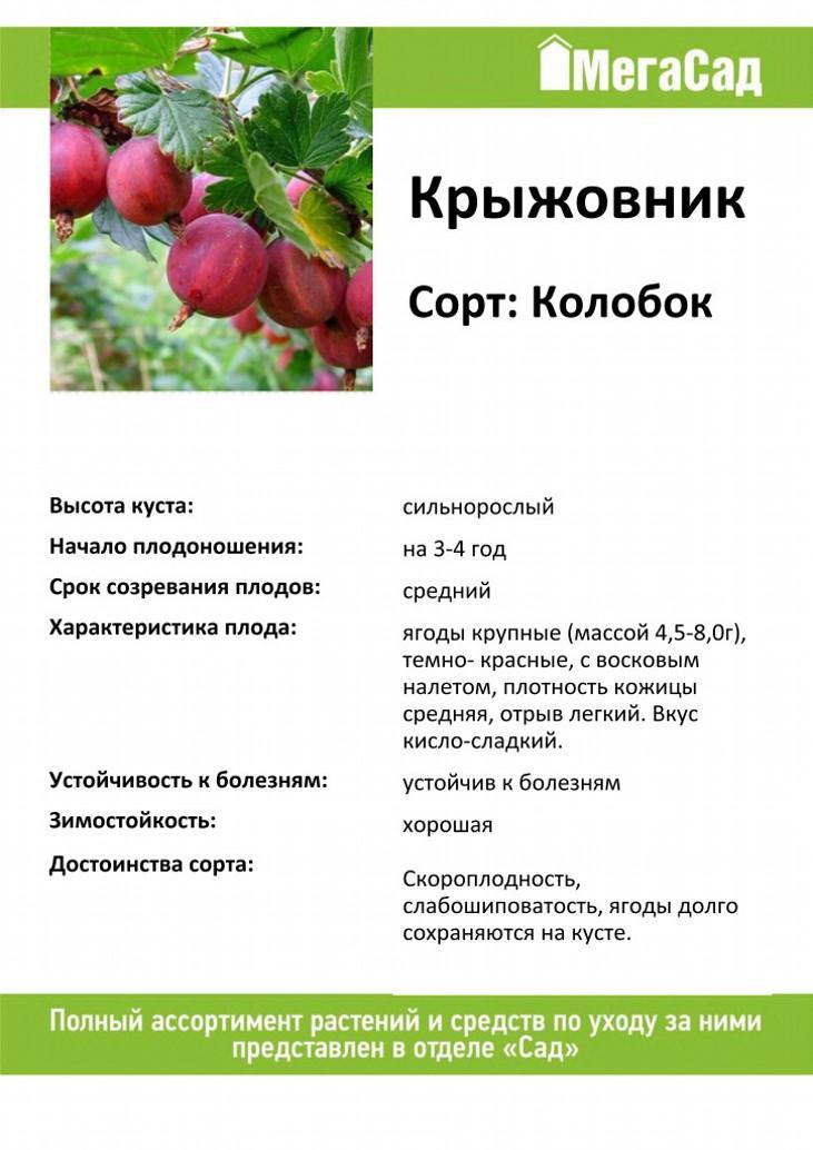 Крыжовник колобок (kolobok): описание, фото, отзывы садоводов, посадка и уход