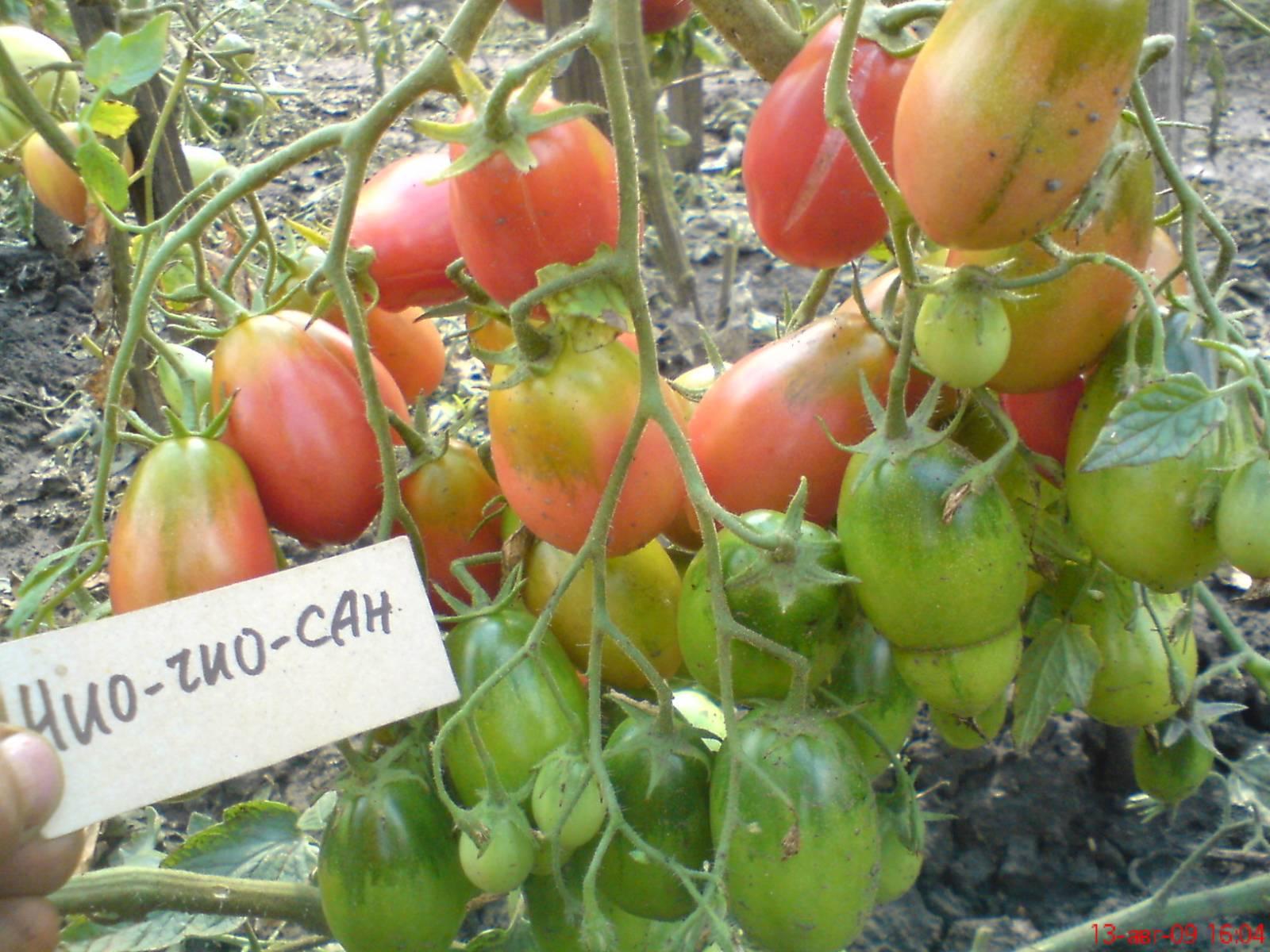 Томат чио-чио-сан – характеристика и описание сорта, фото, урожайность, отзывы, видео