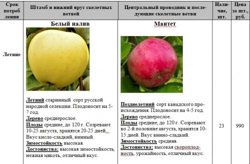 """Яблоня """"мантет"""": описание сорта, фото, отзывы"""