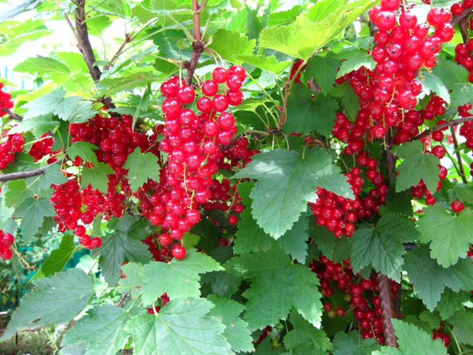 Смородина красная джонкер ван тетс (йонкер) - описание сорта, отзывы