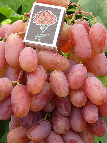 Один из лучших сортов со стабильным урожаем — виноград юбилей новочеркасска