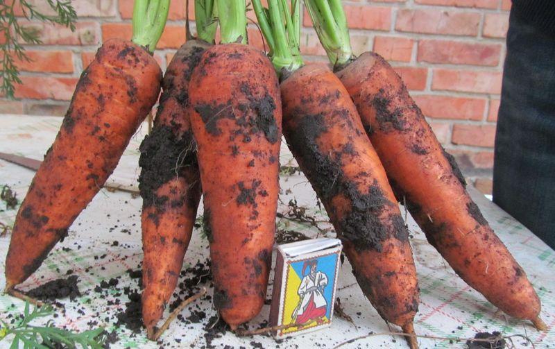 Описание сорта моркови абако - блог фермера