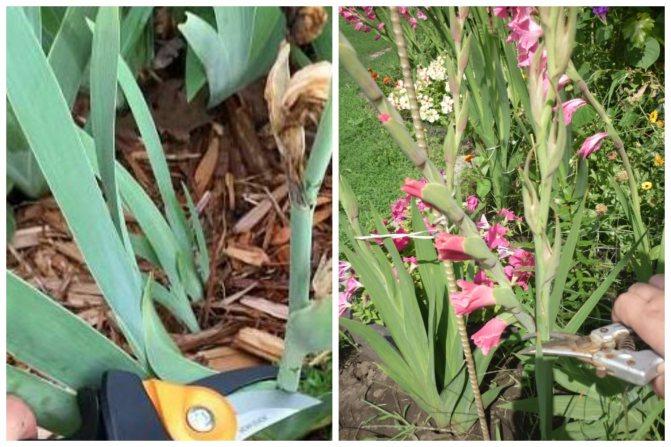 Болезни гладиолусов: почему желтеют, не цветут, появляются пятна, лечение и профилактика, борьба с вредителями - переносчиками заболеваний