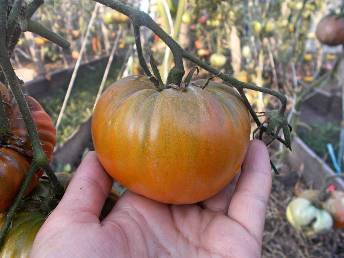 Описание сорта томата заржавевшее сердце эверетта и его характеристика – дачные дела